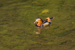 What's up duck? (malc1702) Tags: mandarinduck duck birds aquaticbirds nature water reflection nikond7100 nikkor18140mm prettybirds