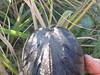 2016-09-20 007 (illinoisriverwatch) Tags: r0209103 mussel unionidae giant floater pyganodon grandis beak hinge