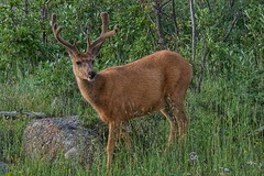 I know I'm handsome (Pejasar) Tags: deer male antlers young buck rockymountainnationalpark colorado mammal rocks grass green brown