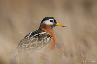 Portrait of a red phalarope on the tundra