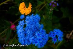 Blue (Bernsteindrache7) Tags: autumn sony alpha 100 color flora fauna flower garden bloom blossom blume outdoor landscape park