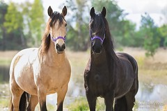 8642042_orig (amable) Tags: friesian friesians friesianhorse fries andalusian andalusier horse horses bucks buckskin tricks tricktraining prance prancing animals black holland dutch