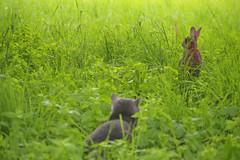 Caccia in corso (OcramMaco) Tags: allaperto natura coniglio gatto gatti cat cats