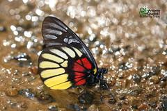 The Red-breast Jezebel -  (Antonio Giudici Butterfly Trips) Tags: thailand chiangmai chiangdao butterflies lepidoptera theredbreastjezebel  pieridae pierinae deliasacalispyramus