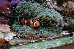 IMG_2351 (october10ab) Tags: reef tank clown fish nemo percula