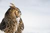 Great Horned Owl (Jon David Nelson) Tags: greathornedowl bubovirginianus owls raptors birdsofprey highdesert oregon centraloregon wildlife conservation education
