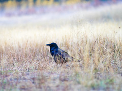 Raven in Yosemite (nprisadnikov) Tags: raven yosemite california national nationalpark november fog morning sunrise elcapitan meadow cold zeiss contax sonnar 135mm f28