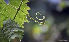 Regentage * Rainy days * Das de lluvia *   . DSC_8301-001 (maya.walti HK) Tags: 171116 2012 autumn copyrightbymayawaltihk flickr gotasdelluvia grapes herbst lluvia nikond3000 otoo rain raindrops rainydays regen regentage regentropfen schweiz suiza switzerland trauben uvas