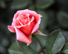 2016 Autumn Rose (shinichiro*) Tags: 20161022sdq1267edit 2016 crazyshin sigmasdquattro sdq sigma1770mmf284dcmacrohsm autumn october yokohama kanagawa japan flower macro nik