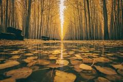 Autumn's Templars (marcusklotz2014) Tags: pnw exploreoregon oregon boardman boardmantreefarm treefarm trees reflection puddle autumn fall seasons