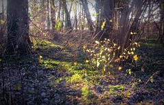 2016-12-04sunny wood (4) (april-mo) Tags: wood light bois sousbois leaves sunray nord france villerscampeau