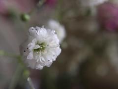 Flower macro (pedro vit) Tags: iphone iphonography iphoneography macro macro10x olloclip flower white nature flora floral petals