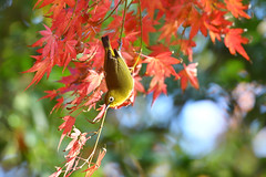 Double Japanese Japanese White-eye and Japanese maple (myu-myu) Tags: nature autumn bird wildbird japanesewhiteeye zosteropsjaponicus autumnfoliage japanesemaple autumncolors nikon d500      japan