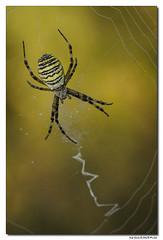 Argiope Bruennichi - Argiope Frelon (Maryline ROHER) Tags: argiopefrelon argiopefasciée argiopebruennichi araignée arachnide
