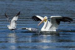 Move On (bassfisher365@att.net) Tags: oklahoma photography landing takeoff pelican gull gulls flying lake tenkiller migration liftoff nature nikon photo image splash