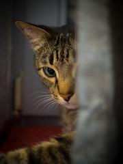 Rdi (Ulmi81) Tags: olympus em1 omd zuiko mft 25 18 festbrennweite rdi katze kater cat versteckt hidden vorhang schrfe unschrfe fensterbrett november 2016