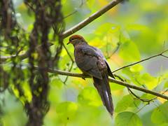 Little Cuckoo Dove _ Fraser Hill  (mahi mahi 163) Tags: dove 600mm bukitfraser malaysia