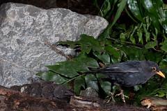 Blackbird (Terdus merula) (Nga Manu Images NZ) Tags: blackbird fscientificnames turdusmerula