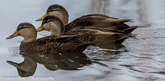 Three Amigos (vernonbone) Tags: 2016 500mm d3200 ducks eastpoint eastpointpark lakeontario lens november ontario birds closeup duck lake landscape mallard nikon outside pond sigma street water