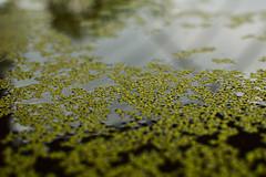 Duckweed (radargeek) Tags: homesteadheritage waco tx texas duckweed aquaponics garden greenhouse