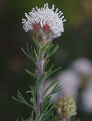 Grevillea crithmifolia, Kings Park, Perth, WA, 02/09/16 (Russell Cumming) Tags: plant grevillea grevilleacrithmifolia proteaceae kingspark perth westernaustralia