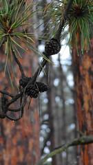 Pinecones (barbaragaillewis) Tags: sony sonyhx9v trees pinecone outdoors nature flushingpark flushingmichigan geneseecounty michigan november 2016