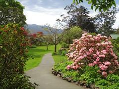 Duendin. Otago. In a private garden called Glenfalloch.  Pink rhododendron and red camellia. (denisbin) Tags: dunedin rhododendron gardens otago bank cathedral anglican anglicancathedral glenfalloch otagopeninsula