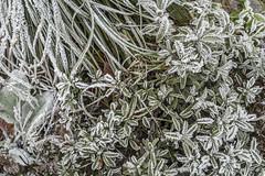 Erster Frost - 0024_Web (berni.radke) Tags: ersterfrost frost raureif wassertropfen rime eisblumen eiskristalle iceflowers icecrystals escarcha
