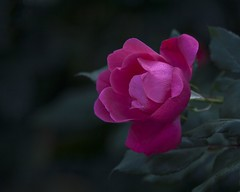 A Rose is a Rose (A Anderson Photography, over 1.5 million views) Tags: rose raindrops pink scarlet canon flower