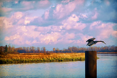 Blue Heron (Bill Anderson :-)) Tags: blueheron fall fraserriver delta britishcolumbia canada