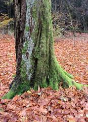 04-IMG_6982 (hemingwayfoto) Tags: baumstamm freizeit herbst herbstlaub mittelgebirge moos november taunus wanderung