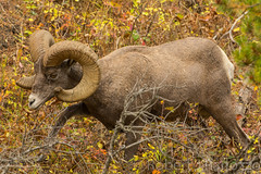 Brush off (ChicagoBob46) Tags: rockymountainbighornsheep bighornsheep sheep yellowstone yellowstonenationalpark nature wildlife
