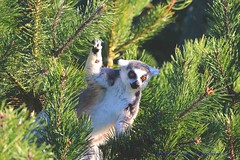 On the 7th Day of Christmas - A Lemur in a Fir Tree.... (law_keven) Tags: lemur ringtailedlemur mammals twycrosszoo zoo zoology leicester england