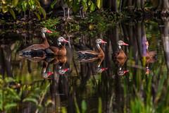 Just Getting My Ducks In A Row (Bill Varney) Tags: black bellied whistling duck fowl wildlife outdoor water tree bush animal avian reflection wakodahatchee wetlands florida billvarney
