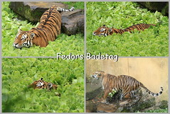 Fedors Badetag (Noodles Photo) Tags: fedor zoomünster pantheratigrisaltaica sibirischertiger groskatze amurtiger raubtier säugetier allwetterzoo