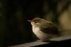 Mom, where are you? (achuaniaku) Tags: 300mmf4 d610 balcony home juvenile tailorbird aves bird birds