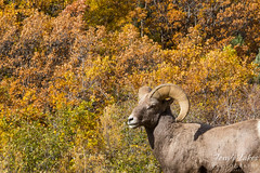 Bighorn sheep and fall foliage.