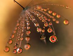 Blooming Curves (Don Komarechka) Tags: flower macro nature drops flash dandelion gerbera refraction daisy waterdroplet mpe donkom