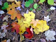 Tulip & Maple Leaves (mudder_bbc) Tags: autumn trees newyork fall colors leaves maple parks arboretum foliage tuliptree slingerlands pinehollowarboretum