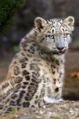 Happy International Snow Leopard Day (Cloudtail the Snow Leopard) Tags: international snow leopard day panthera uncia irbis schneeleopard katze cat cloudtailthesnowleopard