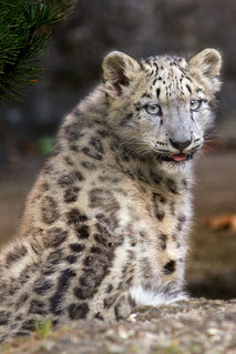 Happy International Snow Leopard Day