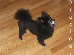 2011:9:21 Precious the Pomeranian toshiba (groomingbyshelley) Tags: dog mountain haircut newfoundland puppy groom golden duck illinois mixed cut samoyed sheltie sheepdog dupage retriever best norwegian grooming toll shelly shelley breed trim naperville shetland shellie lisle bmd tolling shelty groomer elkhound doublecoat twocoats shelleygroomerwestmont wwwgroomingbyshelleycom shelleygroomerdownersgrove shelleygroomernapervillegroomgroomingwwwgroomingbyshelley shelleygroomernapervillegroomgroomingwwwgroomingbyshelleycom