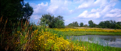 Yellow Flowers and Cat Tails by the Pond (tommyr68) Tags: flowers panorama film oklahoma yellow 35mm pond fuji superia country 400 pointandshoot vivitar brokenarrow pn2011