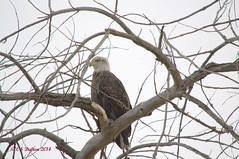 November 9, 2014 - Bald eagles return to Thornton. (Ed Dalton)