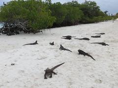 Iguana's at Tortuga bay