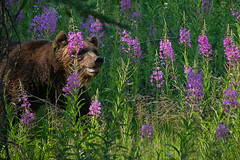 Kootenay Adventure (dbushue) Tags: bear canada nikon britishcolumbia wildlife adventure roadside fireweed grizzlybear canadianrockies 2014 kootenaynationalpark specanimal fantasticwildlife dailynaturetnc14 photoofthedaynwf14