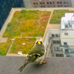 I Am Ledgend (FAR Photography Chicago) Tags: city bird cityhall ledge perch gapersblock rooftopgarden chicagoist chicagoreader