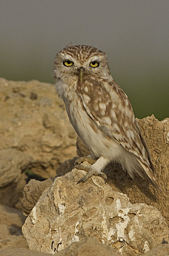 Litith Owl , Athene noctua lilith, pale form of the Little Owl ,from Israel, Syria,Jordan and part of Arabia , Neighbour of Quatar where taken_3243