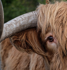 Bullseye (MMiPhoto) Tags: eye scotland cow fuji cattle bull highland callendar xt1 killmahog