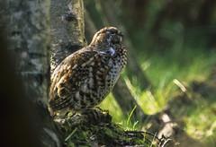 Hazel Grouse - Bayerish Park - Germany_0016 (fveronesi1) Tags: birds germany europe hazelgrouse bonasabonasia